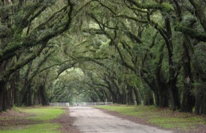 Wormsloe Savannah Oak Avenue
